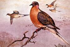 BEAUTIFUL PASSENGER PIGEON GLOSSY POSTER PICTURE PHOTO cute cool extinct 2106
