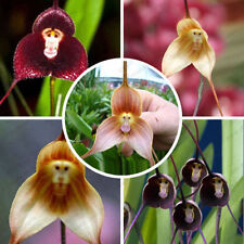 Various Rare Monkey Face Orchid Flower Seeds Plant Seed Bonsai New Arrival 10PCs