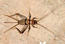 Live Crickets - All Sizes 500 - 10,000 Free Shipping $14.99/500 $22.99/1000