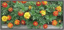 MARIGOLD French Dwarf [Tagetes patula] heirloom-repels rabbits & deer BULK SEEDS