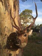 Taxidermy Chital Deer Antlers Newly Mounted By Taxidermist Clint Ludlow