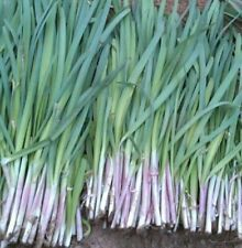 Original the Chinese Widthest  Purple Root Chive Organic Herb Leak Seeds