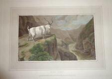 1809 Early Antique Print WILD MOUNTAIN GOAT Engraving HAND COLORED Rare SCOTLAND