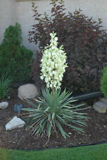 Soapweed Yucca Seeds ,Soapweed , Soapwell, Yucca glauca, Succulent- Perennial