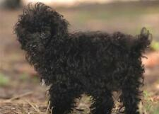 CUTE BLACK POODLE GLOSSY POSTER PICTURE PHOTO dogs puppy puppies yorkie cool 147