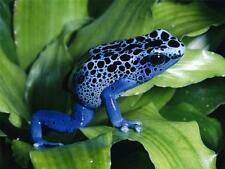 BLUE POISON DART FROG GLOSSY POSTER PICTURE PHOTO toad arrow okopipi azure 523