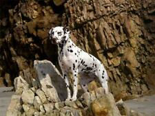 DALMATION ROCKY BEACH GLOSSY POSTER PICTURE PHOTO dog 101 puppy puppies cool 828