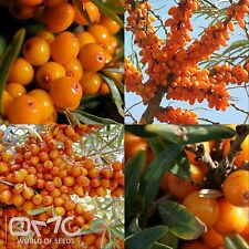 Sea Buckthorn (hippophae rhamnoides) seeds