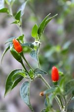 PEQUIN Bird Pepper chili seeds (Capsicum Annum) VERY HOT, Heirloom Chile Pequin!