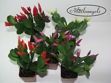 CHRISTMAS CACTUS,EASTER CACTUS, RARE, you choose what you like FROM 44 VARIETIES
