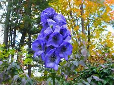 Monkshood Seeds (Aconitum Napellus)World's most Poisonous Plant ,Deadly Beauty !