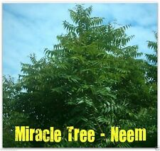 Neem Plant seed (Azadirachta indica)fast-growing-leaves,fruits,seeds are edible
