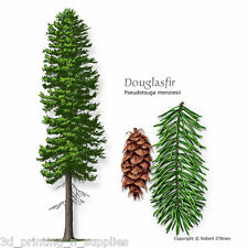 Rocky Mountain Blue Douglas Fir, Pseudotsuga Menziesii Glauca, Tree Seeds