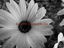 Black White African Daisy Flower Raindrops Home Decor Print Matted Picture A787