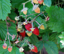 STRAWBERRY - ALPINE ALI BABA (Fragaria vesca) Seeds