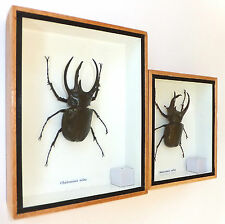 REAL GIANT ATLAS BEETLE ~ CHALCOSOMA ATLAS : INSECT TAXIDERMY ENTOMOLOGY