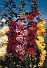 Hollyhock Chaters double mixed  20 seeds **FREE P&P**