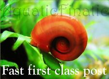 Red ramshorn snails aquarium shrimp tank cleaners algae eaters clean up crew