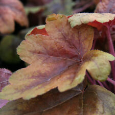 Heucherella Brass Lanterns Evergreen Perennial Plant