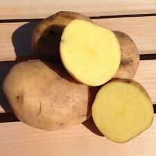 Yukon Gold Potato Seed/ Tubers,Yellow-flesh standard.