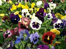 Johnny Jump-up (Viola Tricolor) purple, yellow and white - Mixed Flowers seeds!