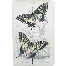 1800's Jardine Hand Colored Engraving - Swallow Tail BUTTERFLIES