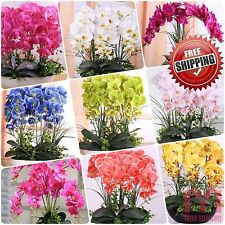 100pcs Purple Yellow Butterfly orchid Seeds Phalaenopsis Moth Orchid Flowers