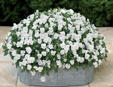 Viola Cornuta Seeds - White Perfection - Great in Hanging Basket, And Garden Bed