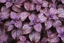 Perilla Frutescens 50 OR 500 Seeds, Edible Landscaping Beefsteak Herb, Shiso
