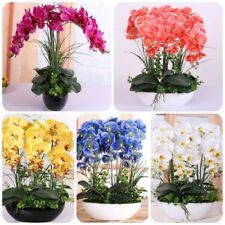100 pcs orchid seeds High simulation flower Phalaenopsis  orchid plants