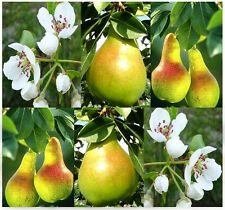 BULK European Pear, Domestic Pear TREE SEEDS Pyrus communis COLD HARDY TO ZONE 4
