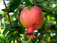 Pomegranate, Punica granatum, Tree/Shrub Seeds (Fast, Edible, Showy)