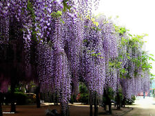 Blue Chinese Wisteria Vine, Wisteria sinensis, Seeds (Fast, Showy, Fragrant)