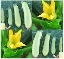 "ZUCCHINI GREY Squash seeds ~ PERFECT FOR FRYING 5-8 "" - Open pollinated  50 DAYS"