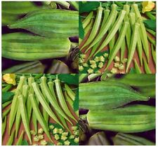 ORGANIC CLEMSON SPINELESS Okra seeds - FINE quality soups and gumbo - HEAVY - 55
