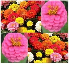 ZINNIA ELEGANS MIX FLOWER SEED ~ HEAVY BLOOMS - Showy Flowers Extended Blooms A+