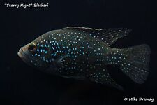 """""""Starry Night"""" Bleekeri Cichlid - Paratilapia - African Live Fish - FREE S&H!"""