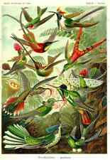 Ernst Haeckel Art Print Vintage nature Poster BIRDS A3 A4 *BUY 3 GET 1 FREE*