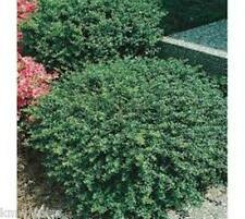Soft Touch (Dwarf) Japanese Holly plants ( 1 gallon )