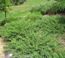 Green Sargent Spreading Juniper (groundcover plants) ( 1.5 gallon )
