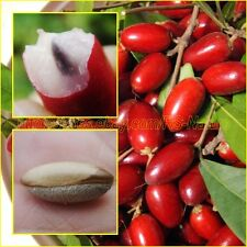 MIRACLE FRUIT Seeds Synsepalum dulcificum tropical exotic berry RARE