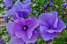 BLUE HIBISCUS * Alyogyne huegelii * TROPICAL SHRUB * PURPLE HIBISCUS * SEEDS