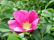 Pink Rugosa Rose, Rosa rugosa Pink, Seeds (Hardy, Fast, Fragrant, Edible)