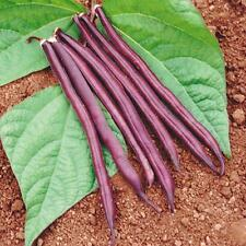 Bean Seeds Royal Burgundy Bush Bean Heirloom Vegetable Gardening Herbs Plants