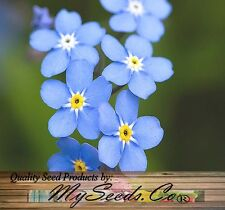 FRENCH ~ FORGET ME NOT ~ Myosotis sylvatica Flower Seeds ~ PERENNIAL ZONE 3 - 9