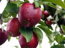 Red Delicious Apple, Malus pumila, Tree Seeds (Hardy, Fast, Edible, Fall Color)