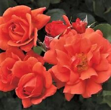 Above All™ Orange Climbing Rose - Live Plant - 10 Inch Pot - (see pics)