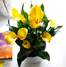 Calla Lily Bulbs,Calla Flower,(Not Calla Lily Seed),Elegant Noble Flower 2 Bulbs