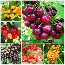 10pcs Red Cherry Bonsai Balcony Garden Fruit seeds Potted Plants Organic Fruits