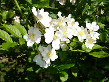 White Rugosa Rose, Rosa rugosa albiflora, Shrub Seeds (Fast, Hardy, Fragrant)